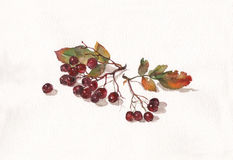 Ashberry watercolor painting Royalty Free Stock Images
