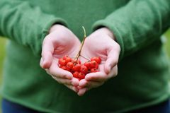 Ashberry in woman hands Royalty Free Stock Photography