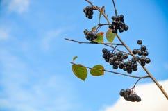 Ashberry Zweig Stockfotos