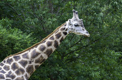 Asheboro, de dierentuingiraf van het Noordencaolina Royalty-vrije Stock Afbeeldingen