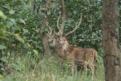Asherten in de wildernissen royalty-vrije stock afbeelding