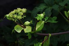 Angelica keiskei( Ashitaba). Ashitaba is a plant originating in Japan and is attracting attention as a healthy vegetable, as well as drug efficacy royalty free stock photo