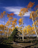 Ashley Forest Aspens 1. Aspen trees photographed during the autumn season in the Ashley National Forest in Utah Royalty Free Stock Photo