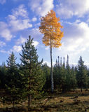 Ashley Forest Aspens 2. An aspen tree photographed during the autumn season in the Ashley National Forest in Utah Royalty Free Stock Photo
