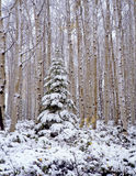 Ashley Forest Snow. A conifer tree covered by an early snow fall in the Ashley National Forest of Utah Royalty Free Stock Photos
