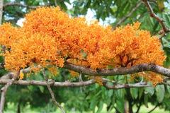 Ashoka-Baum Sri Lanka Lizenzfreie Stockfotos