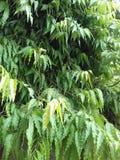 Ashoka tree. Cosiders good home happiness prosperity stock photography