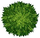 An ashoka tree Royalty Free Stock Image