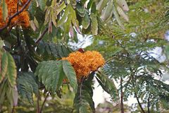 Ashoka tree, important tree in the cultural traditions of the Indian. Garden landscape plant stock photos