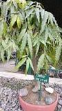 Ashokaboom royalty-vrije stock foto's