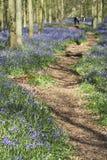 ashridge会开蓝色钟形花的草乡下英语森林 库存图片
