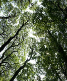 Ashridge trees overhead english woods Stock Photos