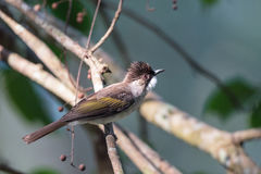 Ashy Bulbul in Thailand Stock Photos