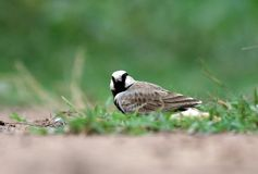 Ashy crowned lark stock images
