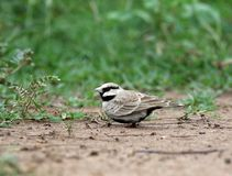 Ashy crowned lark royalty free stock images