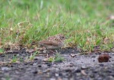 Ashy crowned lark stock photo