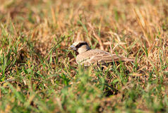Ashy-crowned Sparrow-Lark Royalty Free Stock Image