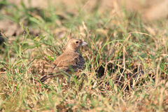 Ashy-crowned Sparrow-Lark Royalty Free Stock Photo