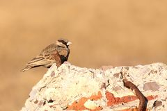 Ashy-crowned Sparrow Lark. Male  , Ashy-crowned Sparrow is resting on one of the construction rock in grassland Royalty Free Stock Photos
