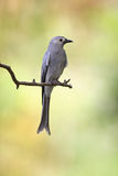 Ashy Drongo Royalty Free Stock Photography