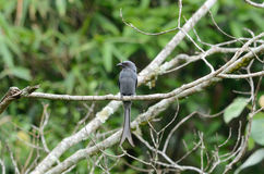 Ashy drongo Stock Photography