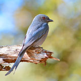 Ashy drongo bird Royalty Free Stock Images