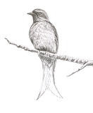 Ashy Drongo bird drawing. The original drawing of birds on white paper, Ashy Drongo Royalty Free Stock Photo