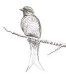Ashy Drongo bird drawing Royalty Free Stock Photo