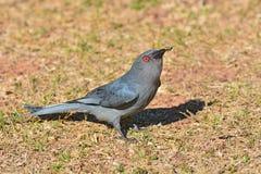 Ashy drongo bird Stock Photography