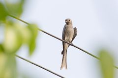 Ashy Drongo on cable Royalty Free Stock Photo