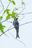 Ashy Drongo(Dicrurus leucophaeus) Stock Images