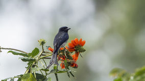 Ashy drongo in Ella, Sri Lanka Stock Photos