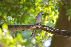 Ashy Drongo gray bird perching on tree branch in forest, Thailan Royalty Free Stock Photos