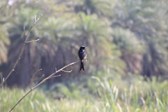 Ashy Drongo Royalty Free Stock Images