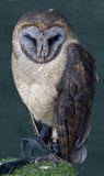 Ashy Faced Owl Stock Images