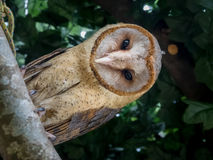 Ashy faced owl Royalty Free Stock Image