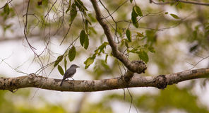 Ashy Flycatcher in African forest Stock Photo