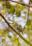 Ashy Flycatcher in African forest Stock Photography