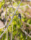 Ashy Flycatcher in African forest Stock Photos