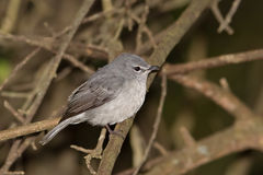Ashy Flycatcher also called Blue-grey Flycatcher Royalty Free Stock Image