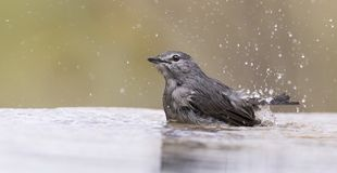 Ashy Flycatcher having a bath to cool down in a shallow pool Stock Images