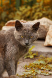 Ashy gray cat in the nature Stock Photography