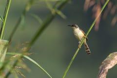 Ashy Prinia Bird Royalty Free Stock Image