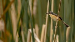 Ashy prinia with nesting material stock image