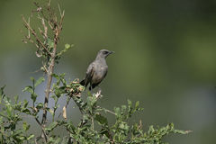 Ashy starling, Cosmopsarus unicolor Stock Photos