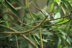 Ashy tailorbird. Sitting on the branch royalty free stock image