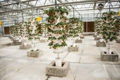 Asiático China, Pequim, ¼ ŒGreenhouse que planta, morango de Carnivalï da agricultura Fotografia de Stock Royalty Free