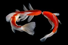 Asiático do colordiversity de Koifish foto de stock royalty free
