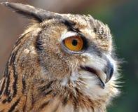 Asiático Eagle Owl Fotos de Stock Royalty Free