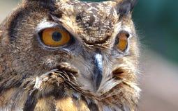 Asiático Eagle Owl Imagens de Stock Royalty Free